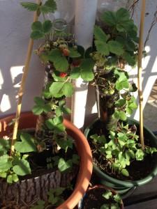 verticalstrawberry garden